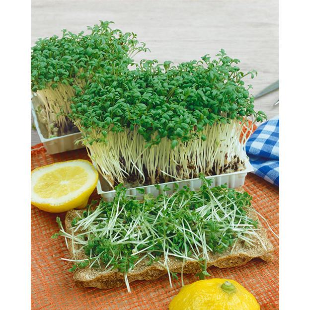 Upland Cress Seeds NE Seed