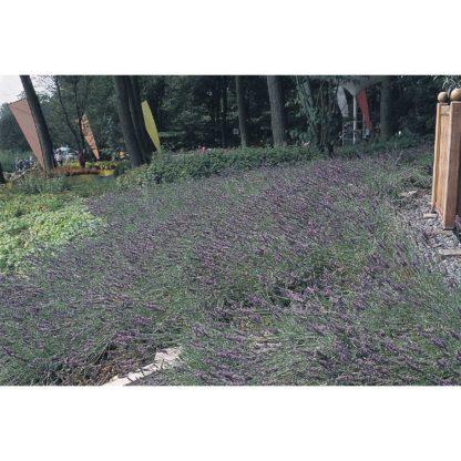 Munstead Lavender Seeds
