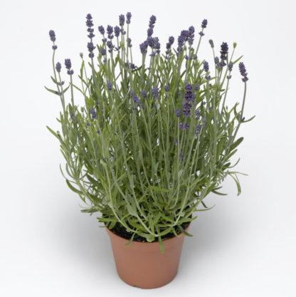 Blue Scent Lavender Seeds