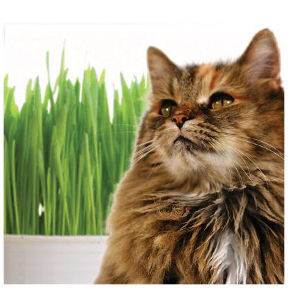 Wowzers Catgrass Crested Wheatgrass