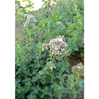 Common Oregano Seeds