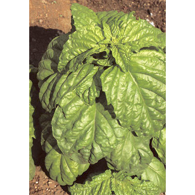 Grandi Foglie Valentino Italian Basil Seeds from our Italian Gourmet Seed Collection