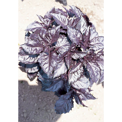 Opal A Foglia Violetta (Dark Violet) Italian Basil Seeds from our Italian Gourmet Collection of Seeds