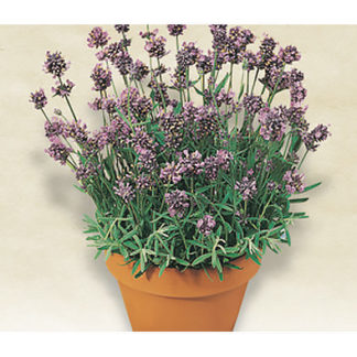 Italian Lavender Seeds from our Italian Gourmet Seed Collectinon