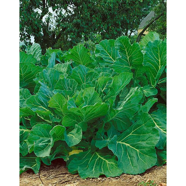 Portuguese Kale Seeds Ne Seed