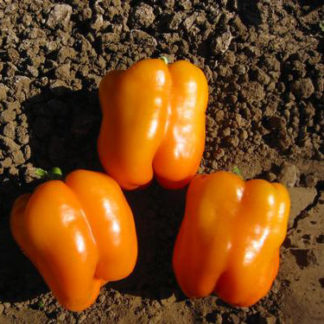 Orange Sun Sweet Bell Pepper