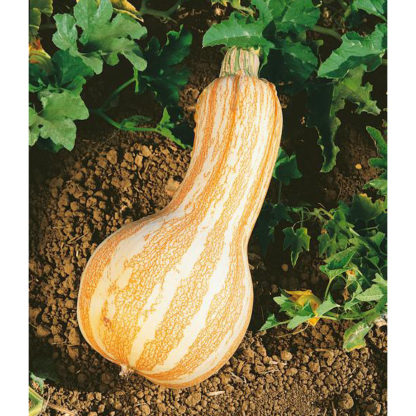 Cushaw Orange Striped Pumpkin