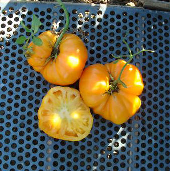 Dr. Wyches Yellow Beefsteak Tomato