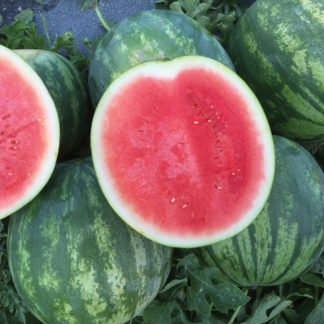Lil Red Rock Improved F1 Hybrid Seedless Triploid Watermelon