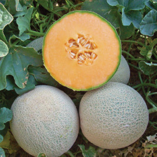 Infinito F1 Hybrid Western Shipper Sugar Melon Seeds