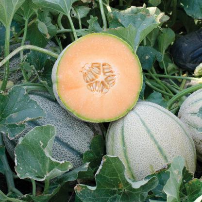 Napoli F1 Hybrid Tuscan Type Melon Seeds
