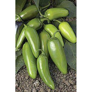 Tam Jalapeño Pepper