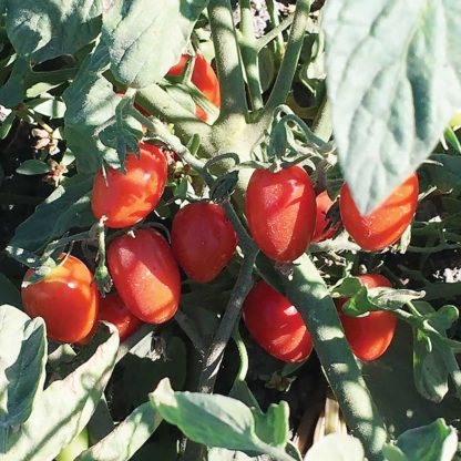 Candy Bell F1 Hybrid Tomato