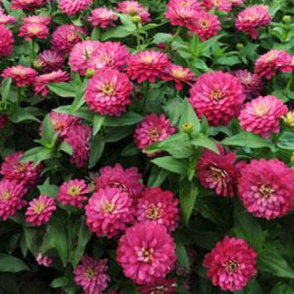 Double Strawberry Zinnia