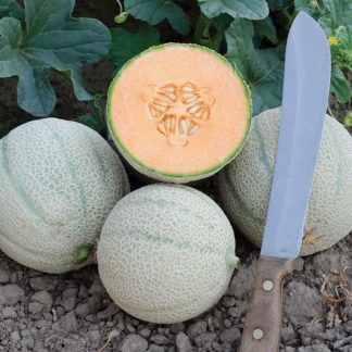 Skol F1 Hybrid Extra Long Shelf Life Melon