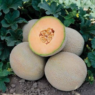 Charon F1 Hybrid Melon Seeds