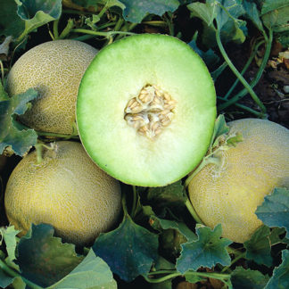 Gala F1 Hybrid Galia Type Melon Seeds