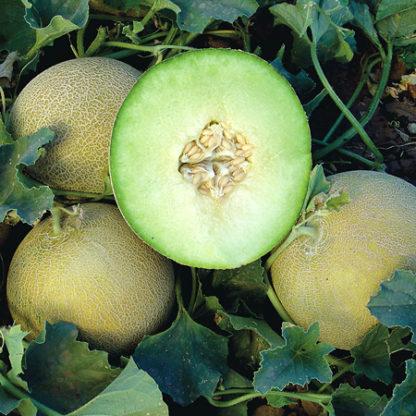 Gala F1 Hybrid Galia Type Melon Seeds