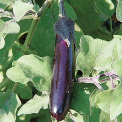 Harmony F1 Hybrid Eggplant