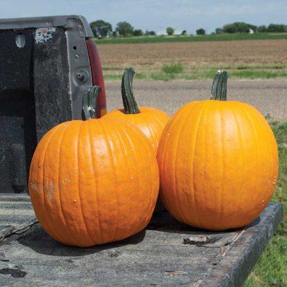 Early Scream F1 Hybrid Pumpkin