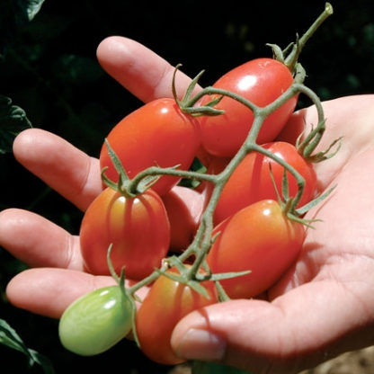 Pink Beauty F1 Hybrid Cherry/Cocktail Tomato Seeds