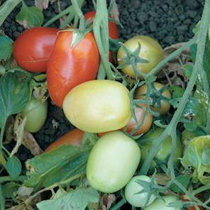 DRT-04-132 Roma Tomato Seeds