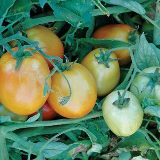 Brenda F1 Hybrid Tomato Seeds