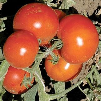 Shining Star F1 Hybrid Tomato