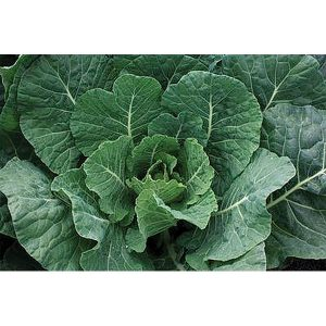 Tiger Hybrid Collard Seeds