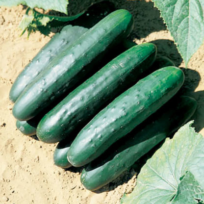 Green Delight F1 Hybrid Cucumber Seeds