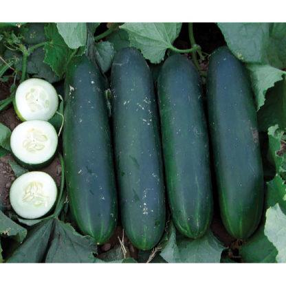 Crispy Green F1 Hybrid Cucumber Seeds