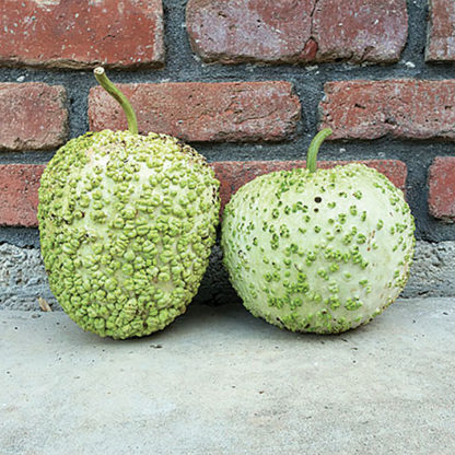 Blister Gourd Seeds