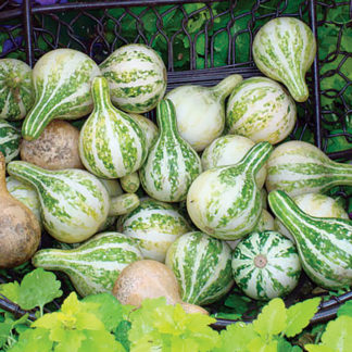 Spinning Top Gourd Seeds