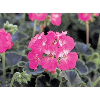 Black Velvet F1 Hybrid Rose Geranium Seeds