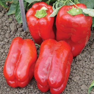 Mobly F1 Hybrid Lamuyo Type Pepper Seeds