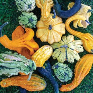 Beetlejuice F1 Hybrid Gourd Mix