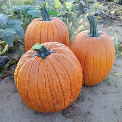 Salem F1 Hybrid Pumpkin Seeds