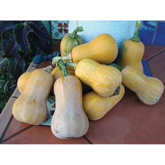 Honeynut Baby Butternut Squash Seeds