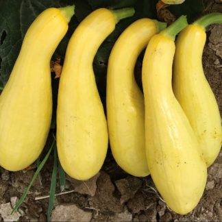 Mabel F1 Hybrid Summer Squash Seeds