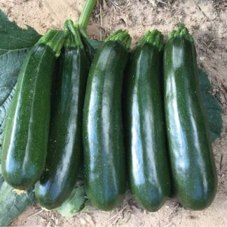 Grinch F1 Hybrid Summer Squash Seeds