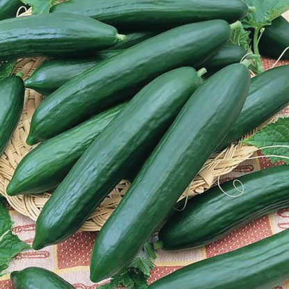 Tendergreen Cucumber