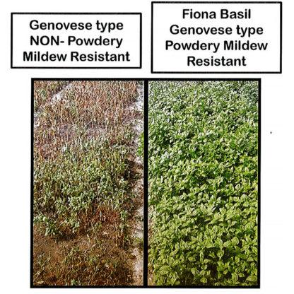 Fiona Basil Seeds