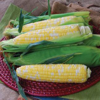 Temptress Quad Sweet Bicolor Corn