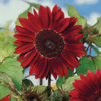 Chocolate Cherry Sunflower Seeds
