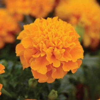 Hot Pak Orange French Marigold Seeds